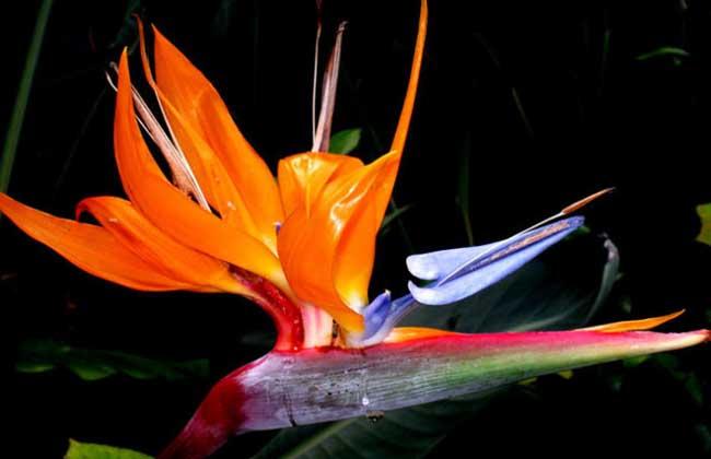 天堂鸟的花语和传说