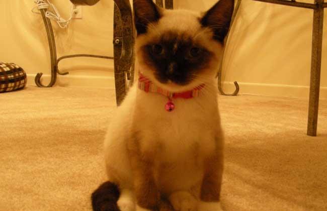 暹罗猫怎么训练