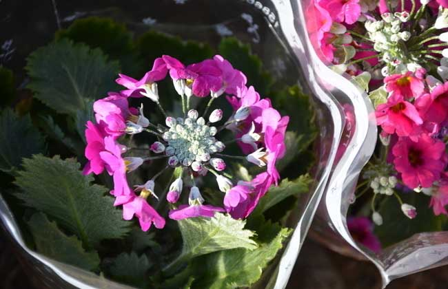 樱花草的花语和传说