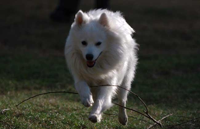 银狐犬怎么养才好?