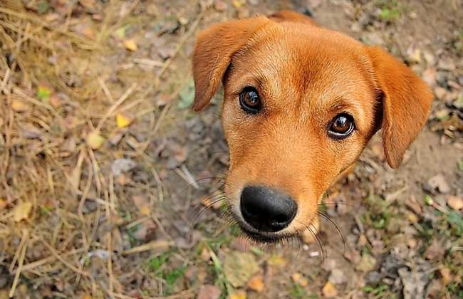 中华田园犬怎么养?