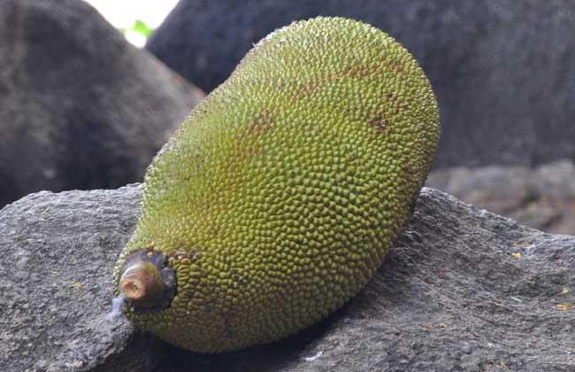 菠萝蜜怎么剥开?