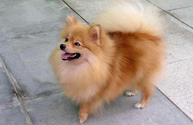 褐色博美犬