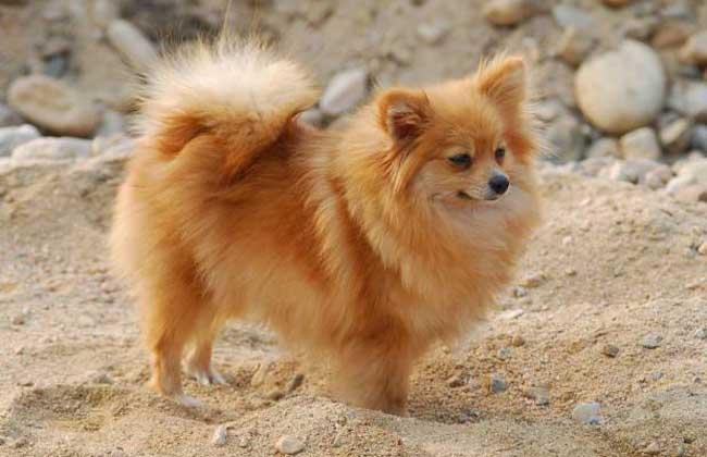 橙色博美犬