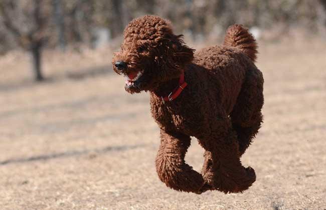 巨型贵宾犬多少钱一只?