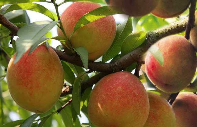 水蜜桃产地