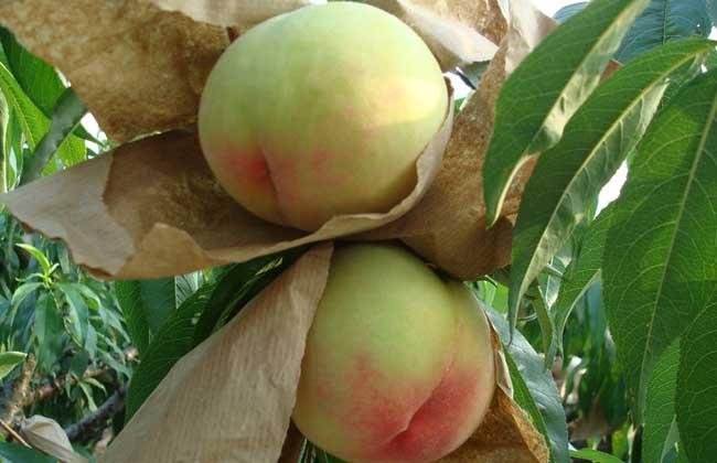 水蜜桃是热性还是凉性
