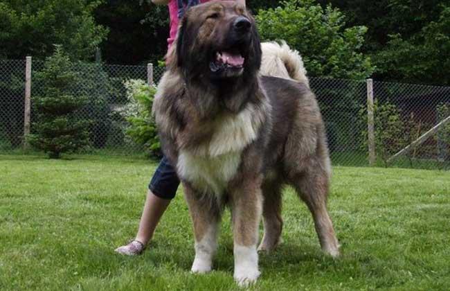 高加索犬能活多久图片