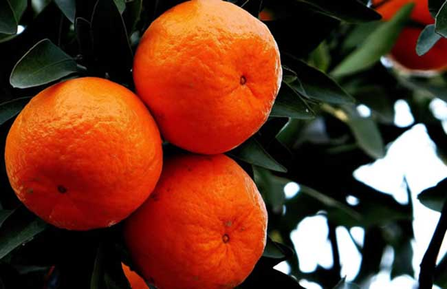 孕妇可以吃橘子吗