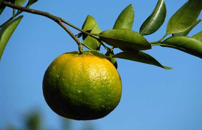 橘子吃多了上火吗