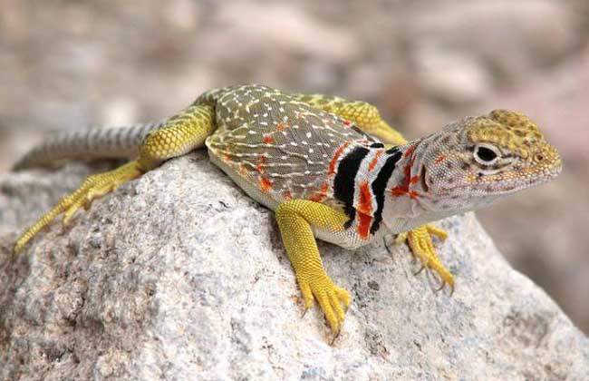蜥蜴有毒吗