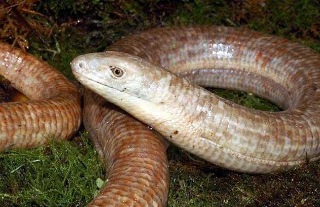帝王蛇蜥有毒吗?