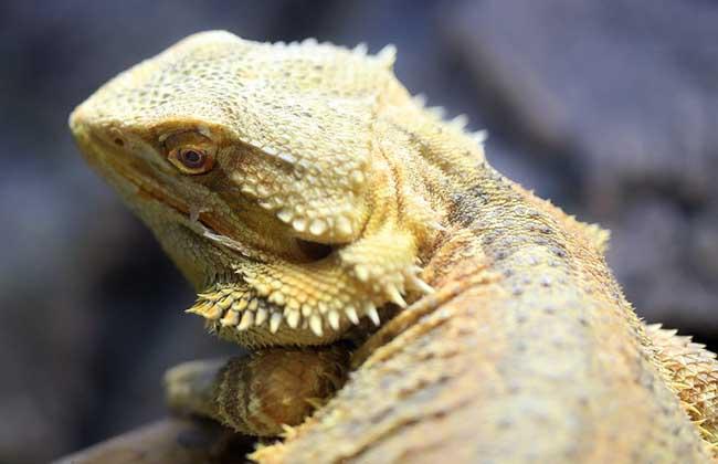 鬃狮蜥的寿命多长?
