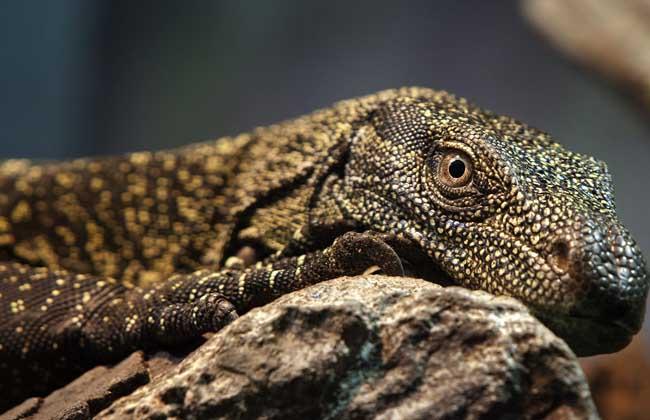 蜥蜴是保护动物吗?