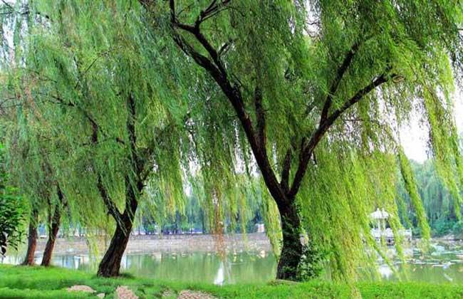 杨柳木命是什么意思?