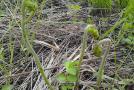 蕨菜的种类图片大全