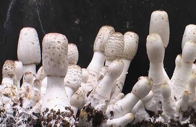 鸡腿菇种植技术
