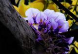 紫藤花的养殖方法