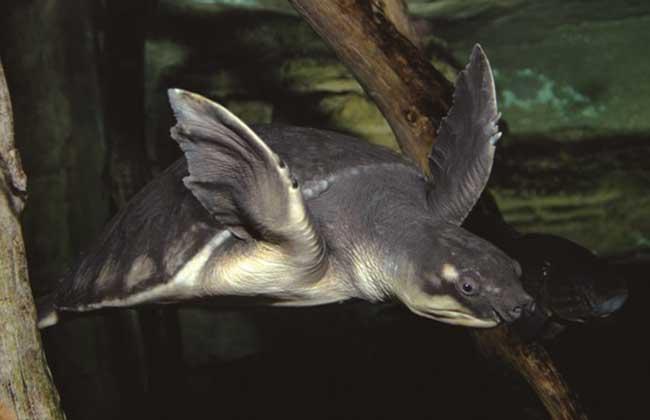 猪鼻龟吃什么比较好?