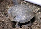 巨蛇颈龟多少钱一只?