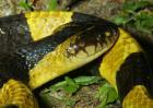 金环蛇和银环蛇哪个毒?