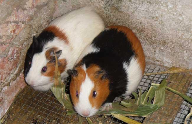 荷兰猪是老鼠吗