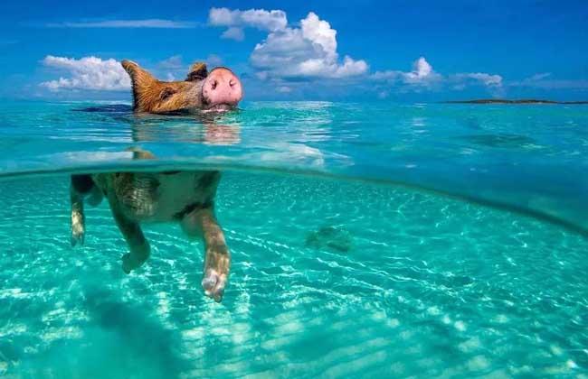 猪会游泳吗