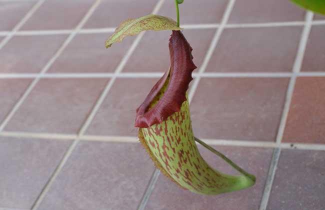宝特猪笼草