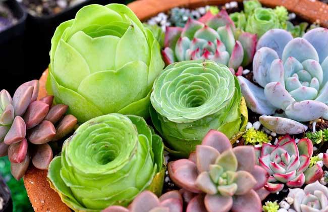 多肉植物怎么繁殖