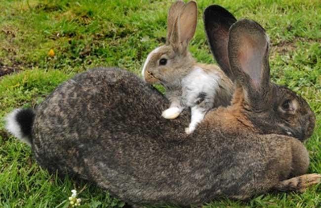 大流士兔子多少钱一只