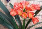 君子兰开花有什么兆头?