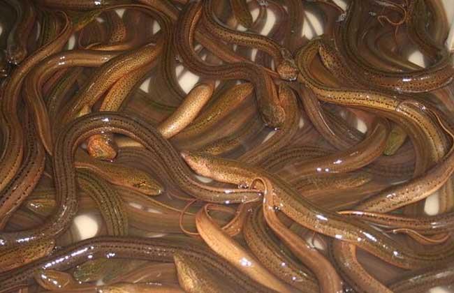 为什么黄鳝那么难养殖