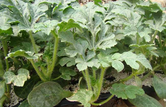 西瓜种子怎么种