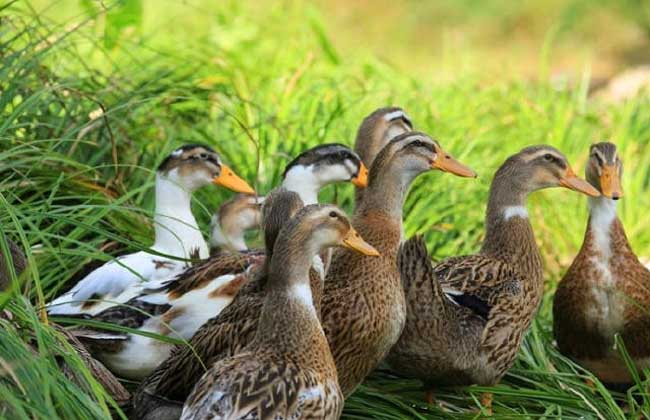 养鸭子需要多少投资