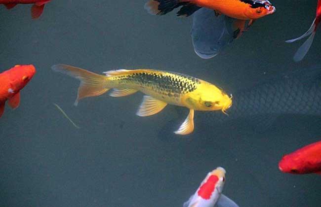 锦鲤鱼价格
