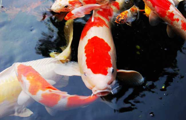 红白锦鲤鱼