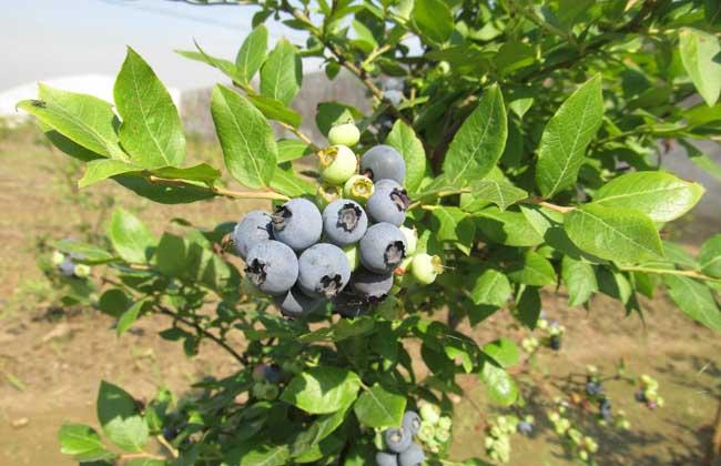 蓝莓每天吃多少合适
