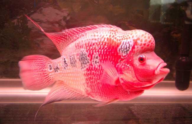 珍珠罗汉鱼