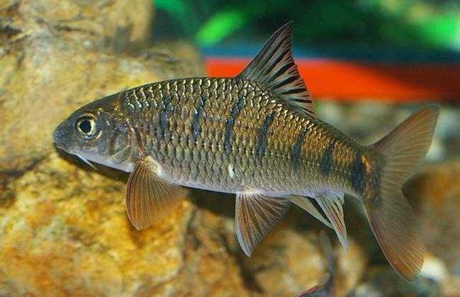 淡水石斑鱼高产养殖技术
