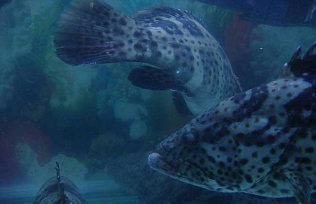 石斑鱼是海水鱼还是淡水鱼?