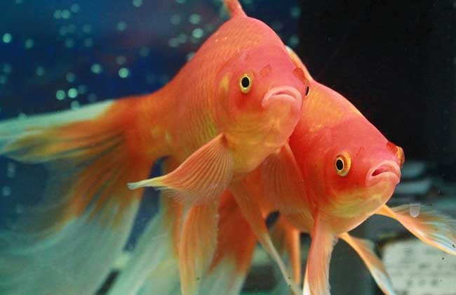 草金鱼价格及饲养方法