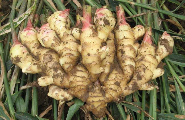 生姜种子价格及种植方法