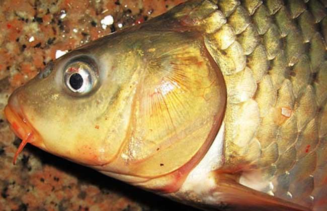 鲤鱼吃什么饵料