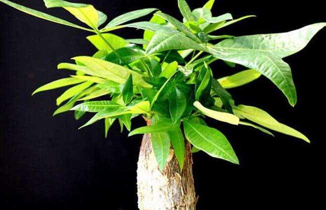 客厅放什么植物