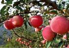 浅谈如何提高果树栽植成活率