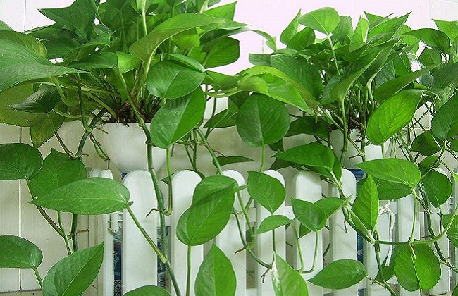绿萝的养殖方法及品种介绍