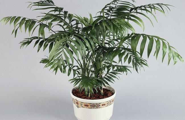 袖珍椰子2