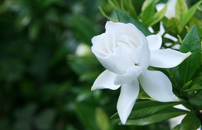栀子花怎样才能开花