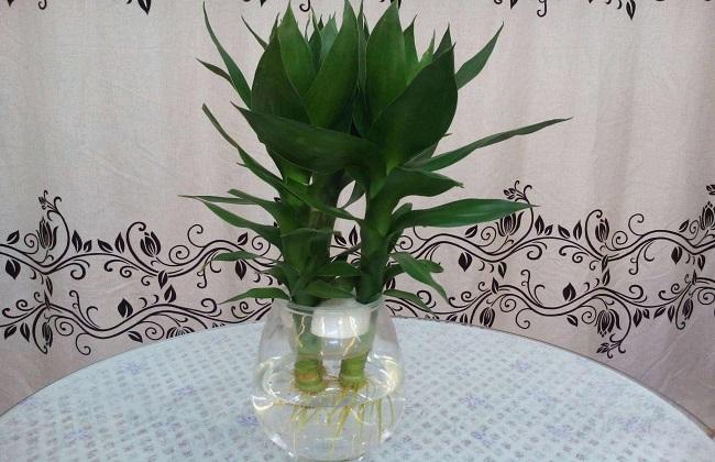 观音竹水培的方法