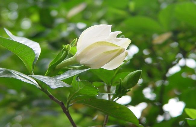 茉莉花与栀子花的区别方法